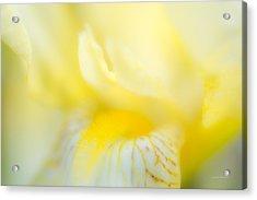 Yellow Iris 6 Acrylic Print