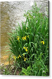 Yellow Iris Acrylic Print by Anna Villarreal Garbis