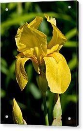 Yellow Iris Acrylic Print by Edward Myers