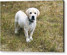 Yellow Labrador Puppy At Wanting To Play. Acrylic Print