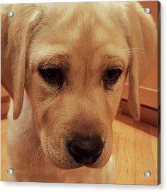 Yellow Labrador Retriever Cute Puppy Face Acrylic Print