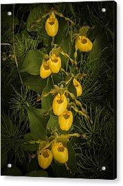 Yellow Lady Slippers Acrylic Print