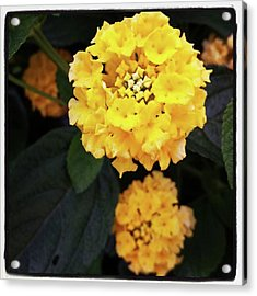 Acrylic Print featuring the photograph Yellow Lantanas Along The Scenic Drive by Mr Photojimsf