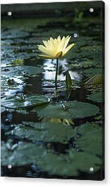 Yellow Lilly Tranquility Acrylic Print