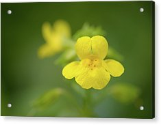 Acrylic Print featuring the photograph Yellow Monkey Flower by Alexander Kunz