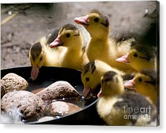 Yellow Muscovy Duck Ducklings Drinking Water  Acrylic Print by Arletta Cwalina