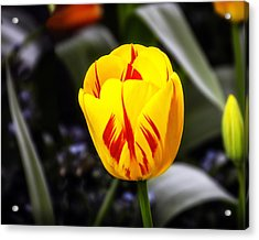 Yellow-n-red Tulip Acrylic Print by William Havle