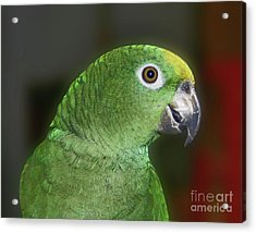 Yellow Naped Amazon Parrot Acrylic Print by Smilin Eyes  Treasures