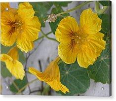 Yellow Nasturtium Acrylic Print