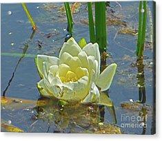 Yellow Nymphaea Alba Damselfy Acrylic Print
