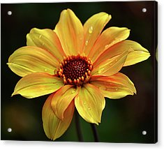 Acrylic Print featuring the photograph Yellow Petals And Drops by Julie Palencia