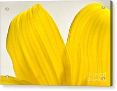 Yellow Petals Acrylic Print by Ryan Kelly