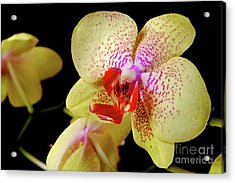 Acrylic Print featuring the photograph Yellow Phalaenopsis Orchid by Dariusz Gudowicz