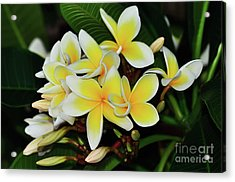 Acrylic Print featuring the photograph Yellow Plumeria By Kaye Menner by Kaye Menner