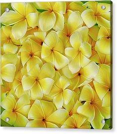 Yellow Plumerias Acrylic Print