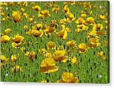 Yellow Poppy Field Acrylic Print