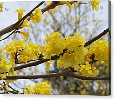 Yellow Poui In Bloom Acrylic Print by Peter Hanoomansingh