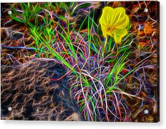 Yellow Primrose Electrify Acrylic Print