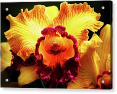 Acrylic Print featuring the photograph Yellow-purple Orchid by Anthony Jones