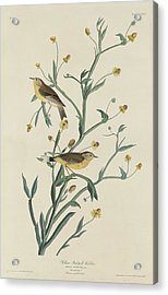 Yellow Red-poll Warbler Acrylic Print