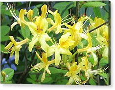 Acrylic Print featuring the photograph Yellow Rhododendron by Carla Parris