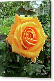 Yellow Rose 04 ... 03.39 Rose Rose Image Acrylic Print
