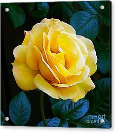 Yellow Rose 06 ... 53.14 Rose Rose Image Acrylic Print
