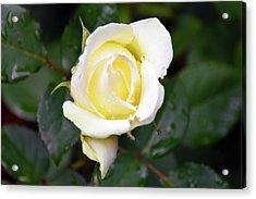 Yellow Rose 1 Acrylic Print