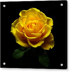 Yellow Rose 4 Acrylic Print