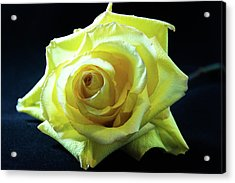 Yellow Rose-7 Acrylic Print