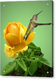 Yellow Rose And Hummingbird 2 Acrylic Print