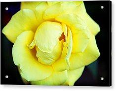 Yellow Rose Acrylic Print by Ariane Moshayedi
