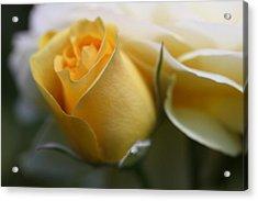 Yellow Rose Bud Flower Acrylic Print by Jennie Marie Schell