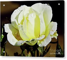 Yellow Rose Dew Drops Acrylic Print