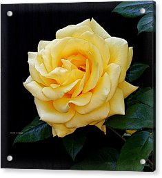 Yellow Rose Acrylic Print by Edward Haskell