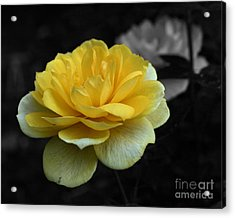 Yellow Rose In Bloom Acrylic Print by Smilin Eyes  Treasures
