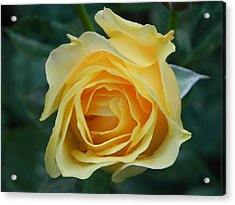 Yellow Rose Acrylic Print by John Parry