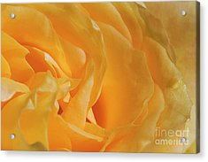 Yellow Rose Joy And Friendship Acrylic Print
