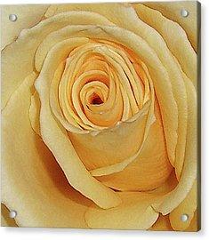 Yellow Rose Acrylic Print by Merton Allen