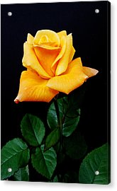 Yellow Rose Acrylic Print by Michael Peychich