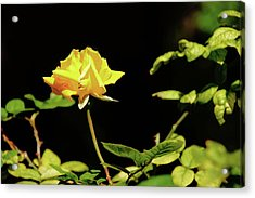 Yellow Rose  Acrylic Print by Mike Murdock