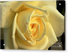 Acrylic Print featuring the photograph Yellow Rose by Nicola Fiscarelli