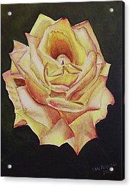 Yellow Rose Acrylic Print by Silvia Philippsohn