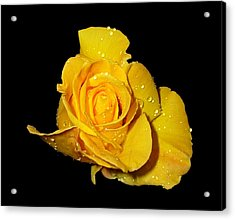 Yellow Rose With Dew Drops Acrylic Print