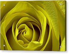Yellow Rose Acrylic Print by Zev Steinhardt