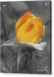 Yellow Rosebud Partial Color Acrylic Print by Smilin Eyes  Treasures