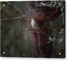 Yellow-rumped Warbler At Water Spout Acrylic Print by Debra Martz