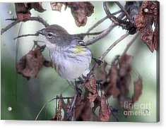 Yellow Rumped Warbler Perched On A Branch Acrylic Print