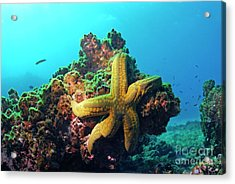 Yellow Sea Star On A Rock Underwater View Acrylic Print by Sami Sarkis