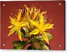 Yellow Sedum Flower Cluster Upclose Acrylic Print by Douglas Barnett